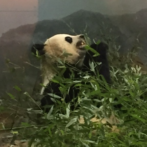 Mei Xiang (or possibly Tian Tian) at the National Zoological Park. Photo by Avery Carter