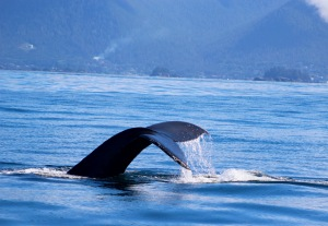 Whale tail in Sitka, Alaska.